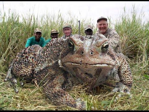 Описание: Картинки по запросу картинки самой большой лягушки