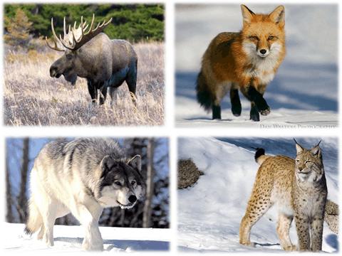 В.: Ребята, давайте посмотрим на следующую картинку, которую отправил нам Лесовичок. Кто здесь на картинке? (Лось, лиса, волк, рысь), (6 слайд).